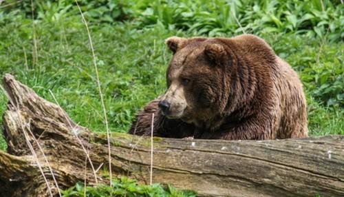 Na szlaku na Leskowiec spotkał niedźwiedzia i wezwał policję. Misiek...