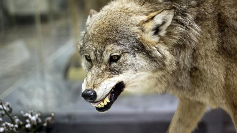 Leśnicy ostrzegają! Wilki polują na owce, są pierwsze ofiary