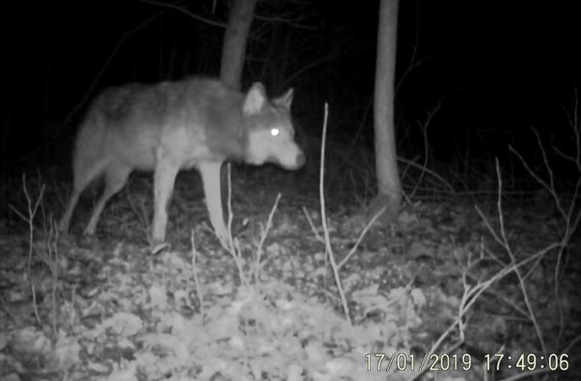 Wilk widziany w polskich lasach