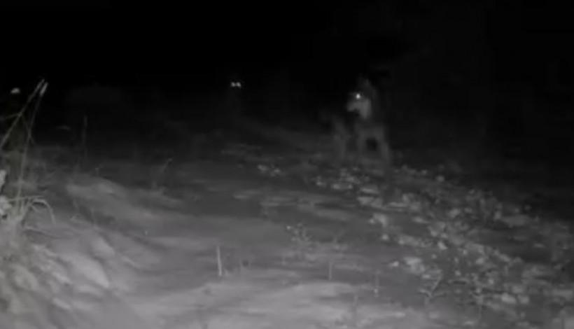 Wilki polują na dziki w lasach Jaroszowickiej Góry. Dały się złapać w fotopułpakę