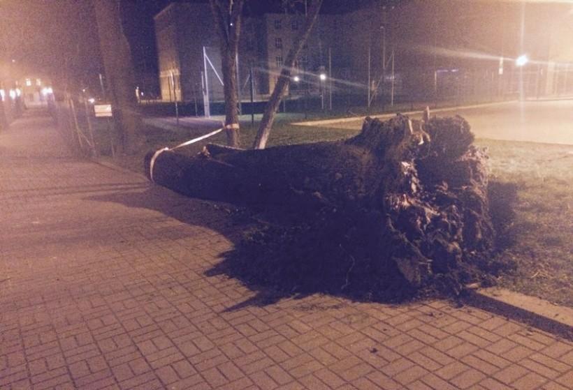 Silny wiatr wyrwał sporych rozmiarów drzewo na pl. Solidarności w Wadowicach