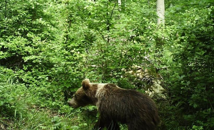Niedźwiedź brunatny przyłapany przez fotopułapkę