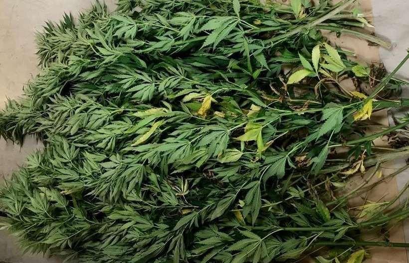 """Krzewy marihuany mają się dobrze w okolicach Andrychowa. Szukany jest kolejny """"plantator"""""""