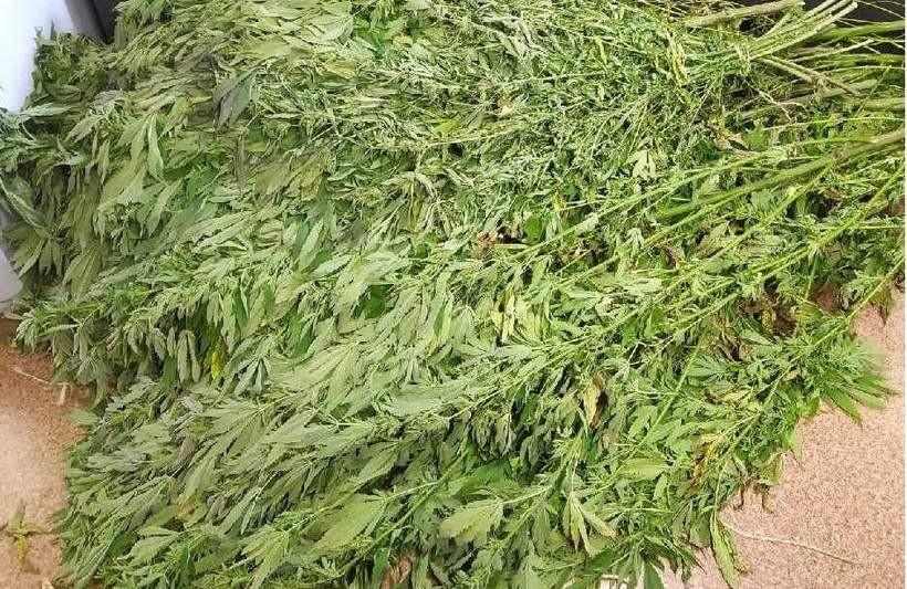 Na spacerze po lesie natknął się na... pole marihuany. Co teraz?