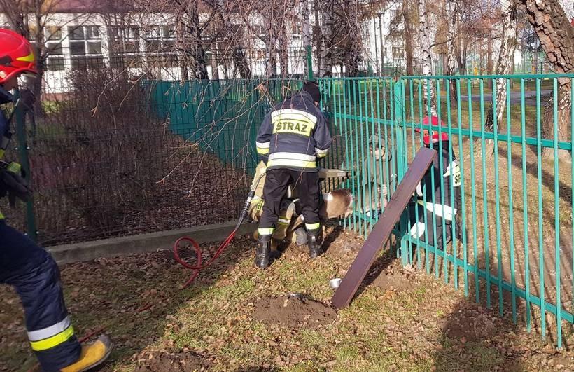 Strażacy użyli specjalnej wycinarki wy wydobyć zwierzę