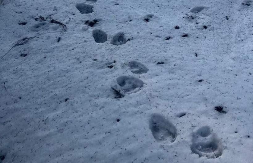 Trop niedźwiedzia na Babiej Górze