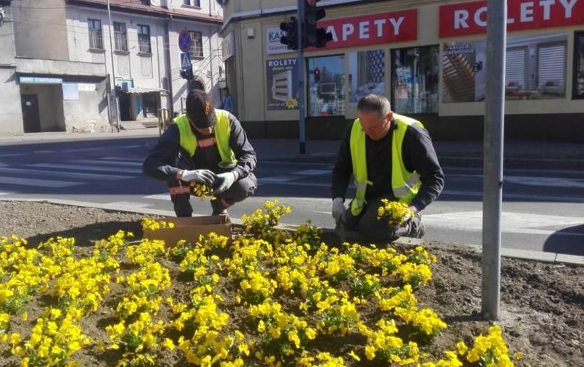 Pracownicy ZGK sadzą pierwsze wiosenne kwiaty