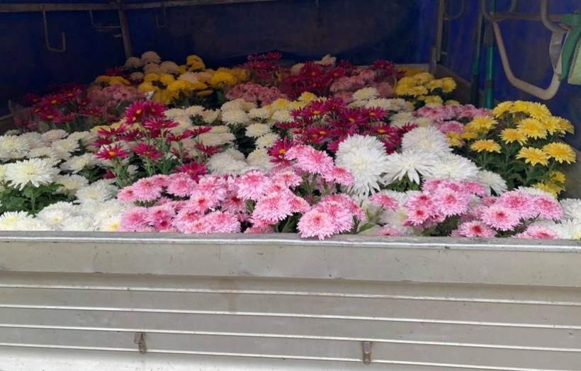 Pierwsi producenci chryzantem oddają swoje kwiaty urzędnikom. Stryszów przejął 300 sztuk