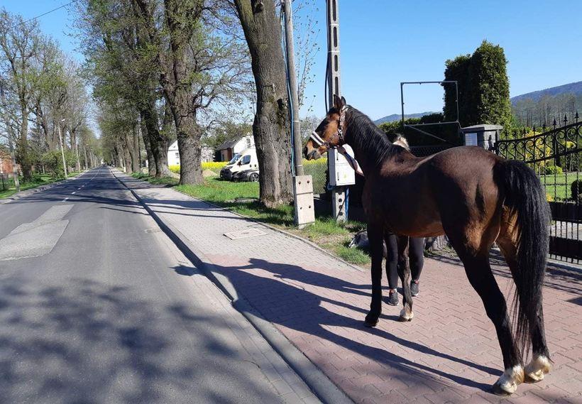 Ktoś zrobił dziurę w płocie, koń skorzystał. Rumak mknął drogą krajową