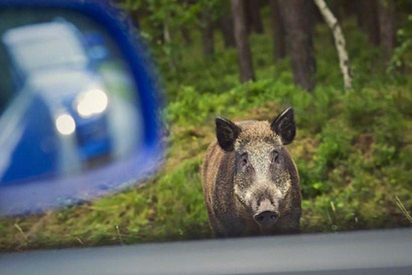 Trwa odstrzał sanitarny dzików. Do końca roku myśliwi zabiją w wadowickim pół tysiąca świn