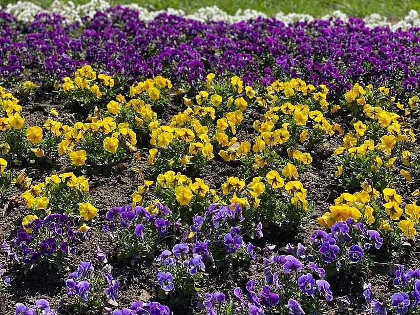 Dziwny pomysł w Wadowicach? Można zrywać kwiatki na publicznych rabatach