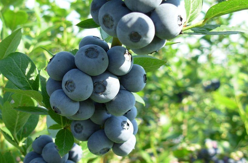 Borówka amerykańska - popularny i niezwykle zdrowy owoc wielu właściwości