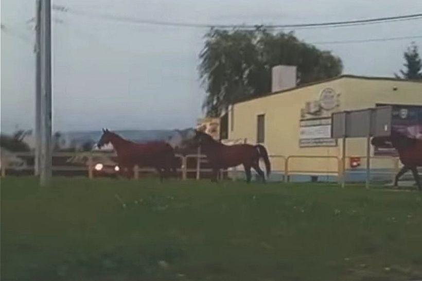"""Trzy konie """"na gigancie"""" biegły drogą krajową. Kierowcy w konsternacji"""
