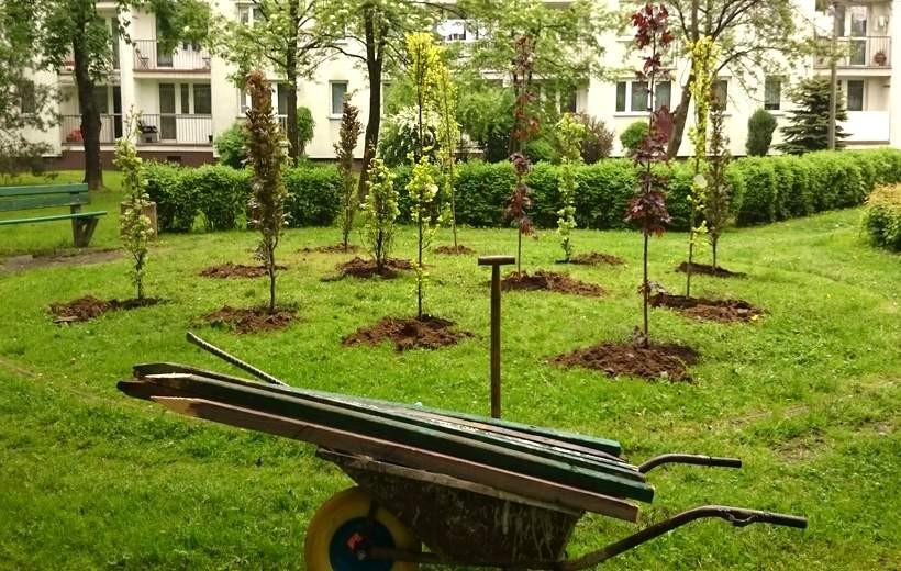 Nowe drzewka na os. Kopernika, urosną m.in. w miejscu gdzie wichura wyrwała z korzeniami stary iglak