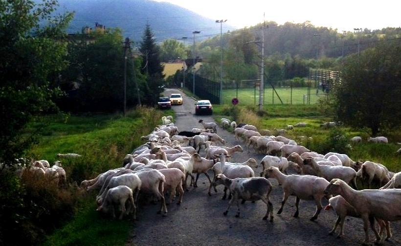 Stado owiec przecięło drogę w Rzykach. Kierowcy byli zachwyceni widokiem