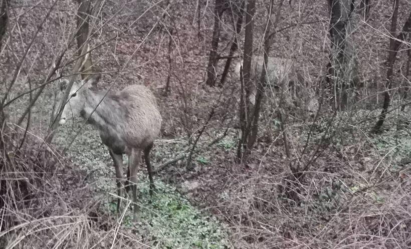 Wściekłe jelenie na rogatkach Wadowic? Lepiej nie głaskać