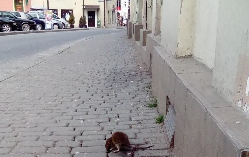 Szczur jedzący na chodniku przy pl. Kościuszki w Wadowicach