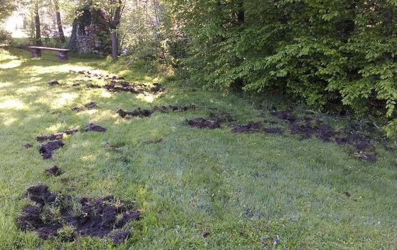 Dziki zryły trawnik przy domu, który stoi w tym miejscu od lat 30. XX wieku