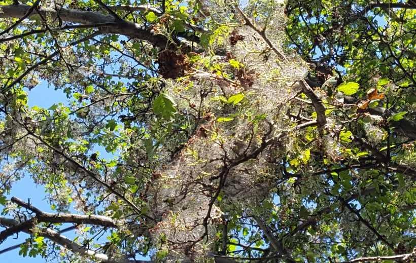 Przy ul. Lwowskiej w Wadowicach szkodnik zaatakował już 4 drzewa