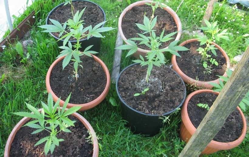 Młode sadzonki marihuany do złudzenia przypominają pomidora