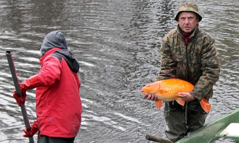 Złote rybki giganty i szczeżuje w andrychowski stawie. Taka niespodzianka