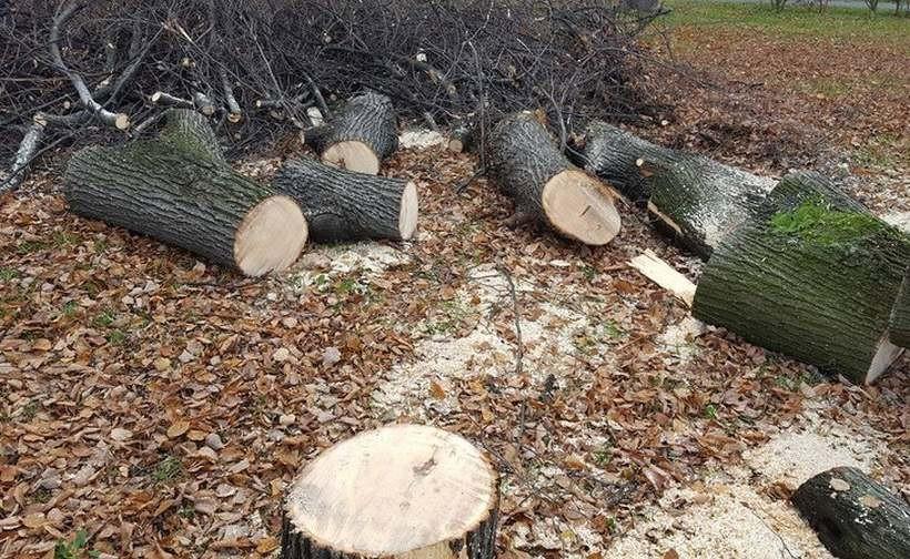 Wycinka drzew na prywatnych posesjach łatwiejsza? Posłowie podjęli decyzję