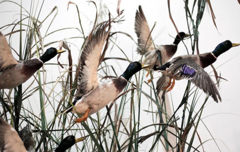 Ptasią grypę roznosi ptactwo wodne migrujące, m.in. kaczki