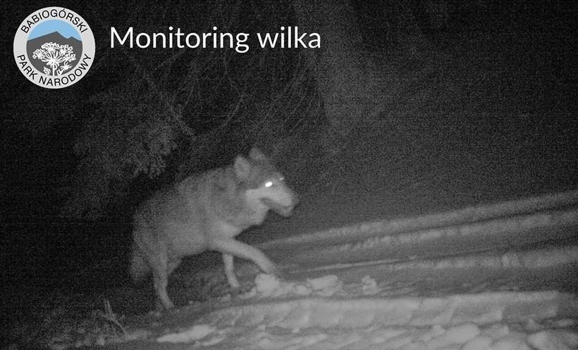 """Wilki z pobliskich lasów do odstrzału? """"Obserwują dzieci wracające z kościoła"""""""
