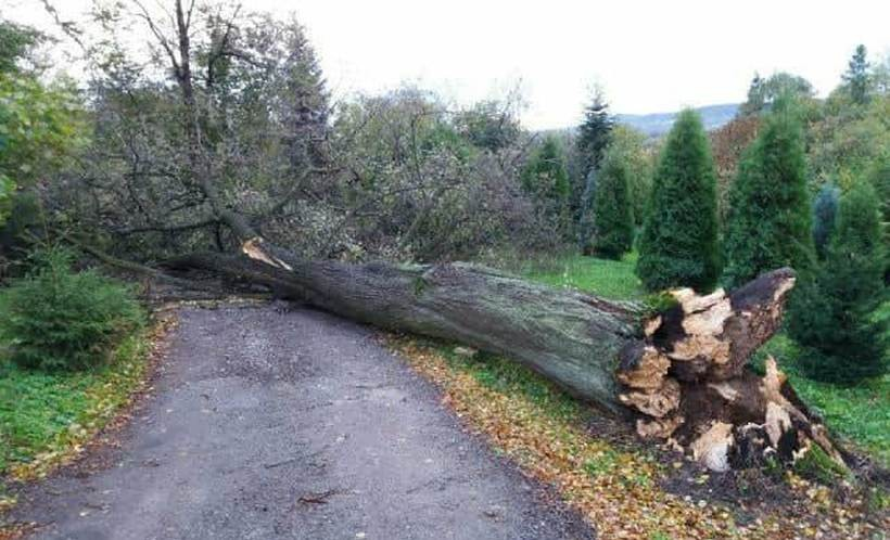 W Tłuczani wiatr przewrócił potężne drzewo