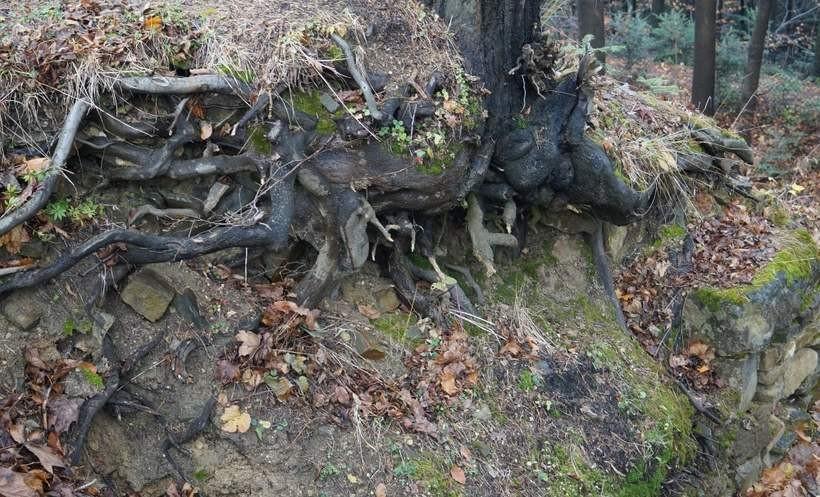 Drzewa porastają zamkowe wzgórze w Lanckoronie