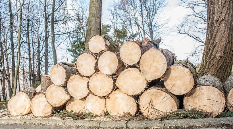 Zdaniem urzędników burmistrza drzewa były chore i spróchniałe