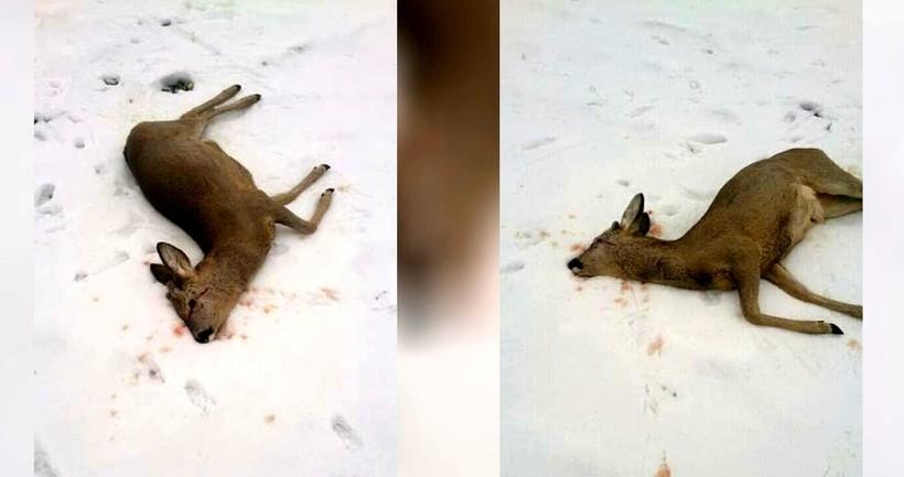 W Tomicach znaleziono zabitego koziołka sarny