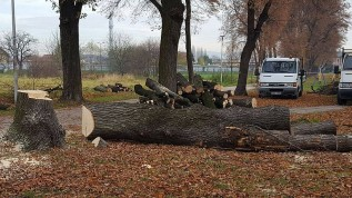 Burmistrz Klinowski twierdzi, że te drzewa są już martwe i dlatego trzeba było je wyciąć