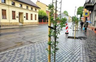 Głogi, jak tylko trochę urosną będą pięknymi drzewkami