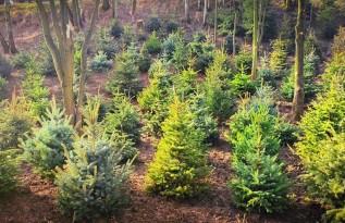Nowy las z choinek świątecznych